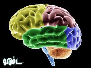 مغز 300x225 از پله بالا بروید و جوان بمانید
